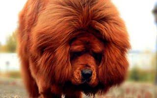 Тибетский мастиф — «царь зверей» из Тибета