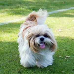 Ши-тцу порода собак