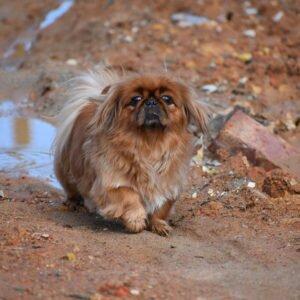 Пекинес порода собак