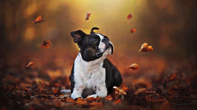 boston-terrier-autumn-bokeh-dogs-dog-in-forest-besthqwallpapers.com-1920x1080-1.jpg