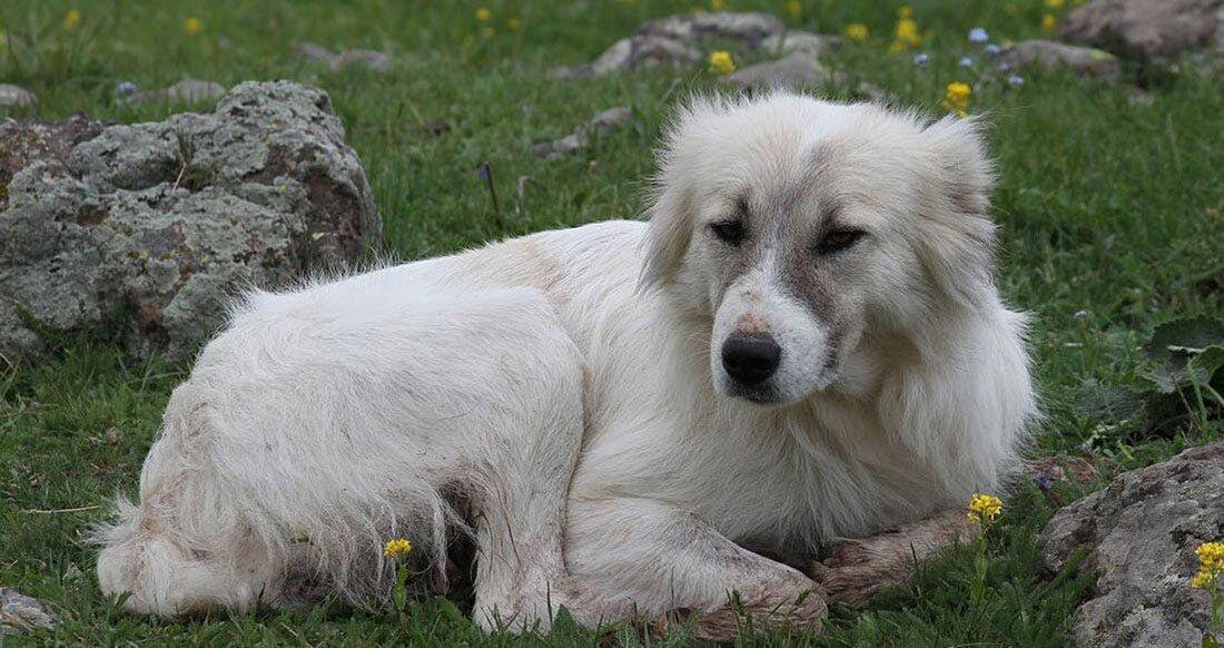 Гампр армянский волкодав
