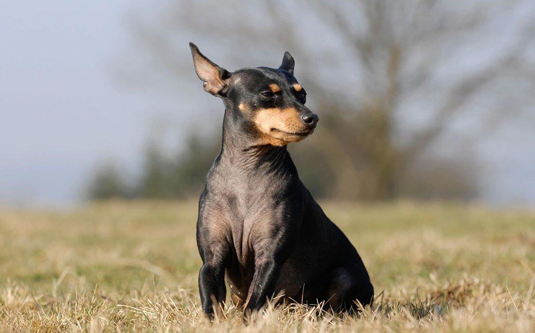 dog-breeds-english-toy-terr.jpg